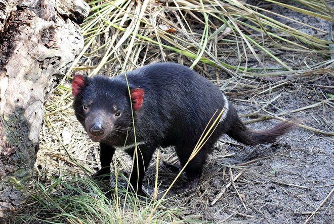 trebuie-sa-petreci-timp-cu-diavolii-tasmanieni